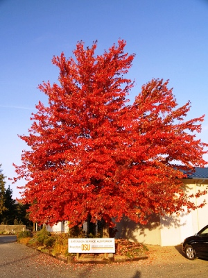 Клен (Freeman maple) быстрорастущие деревья