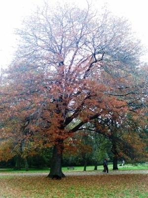 Северный красный дуб (Quercus rubra)