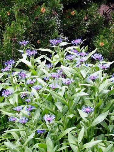 Cornflower василек