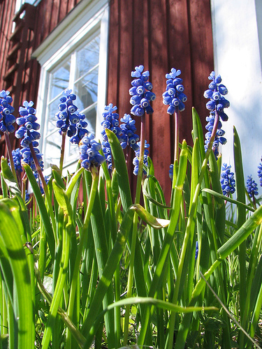Grape Hyacinth гортензия