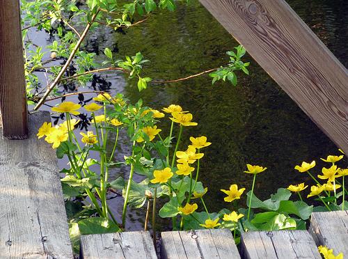Marsh Marigolds калужница