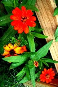 Orange Zinnia оранжевая цинния