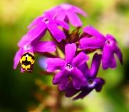 Purple Verbena пурпурная вербена