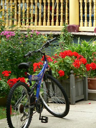 Red Geranium красная герань
