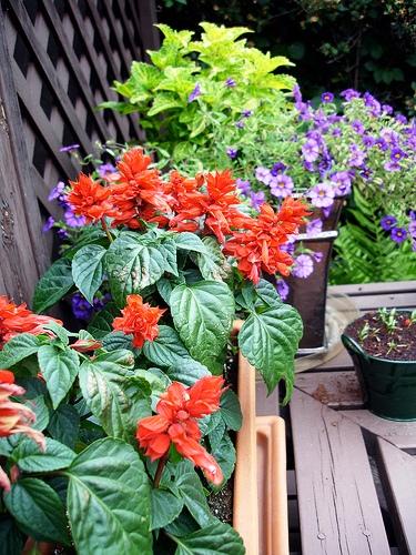Red Salvia красный шалфей