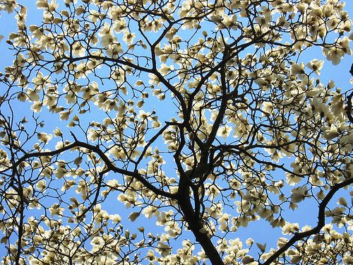 Star Magnolia магнолия звездчатая