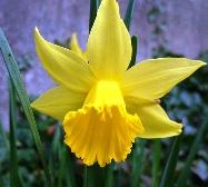 Yellow Daffodils желтые нарциссы
