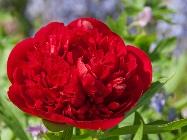 red charm красные пионы