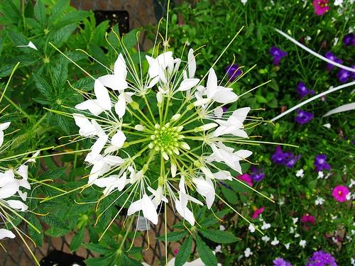 white cleome белая клеома