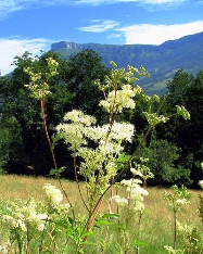 таволга вязолистная Filipendula ulmaria