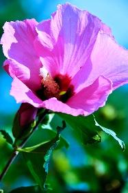 Hibiscus syriacus гибискус сирийский
