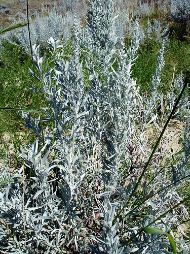 полынь людовика Silver King Artemisia