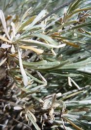 Silver King Artemisia полынь людовика