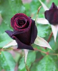black rose черная роза