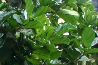 Фикус лировидный Ficus lyrata