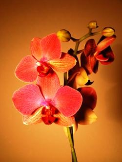 Орхидея Каттлея, Orchid Cattleya, орхидея фото