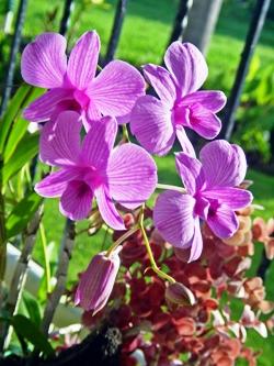 Орхидея Дендробиум, Orchid Dendrobium, орхидея фото