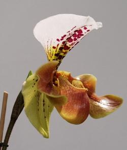 Орхидея Пафиопедилум, Orchid Paphiopedilum, орхидея фото