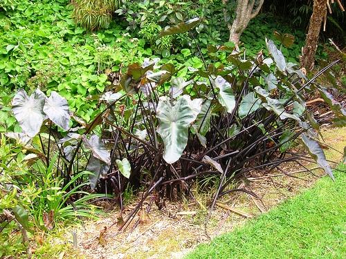 Colocasia esculenta колоказия съедобная