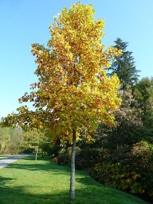 Тюльпанное дерево (Tulip tree)