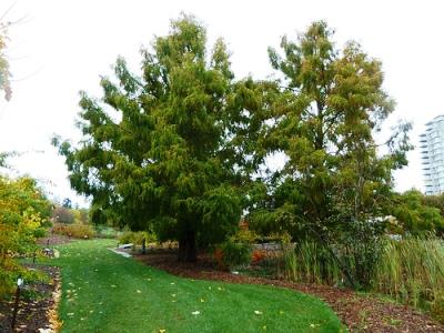 Метасеквойя глиптостробусовая (metasequoia glyptostroboides)