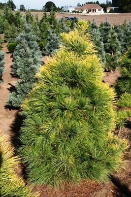 Восточная белая ель (Eastern white pine)