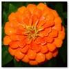 Цинния оранжевая