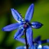 голубая сцилла