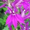 многолетняя пурпурная лобелия
