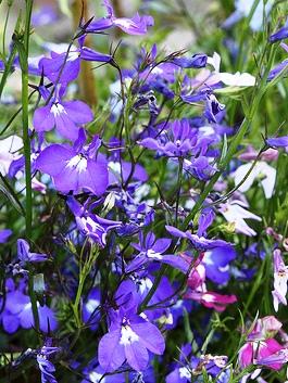 Annual Purple Lobelia пурпурная лобелия