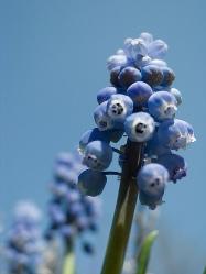 Grape Hyacinth гортензия