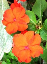 Orange Impatiens оранжевый бальзамин