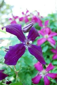 Purple Clematis клематис джекмана