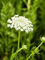 Queen Annes Lace дикая морковь