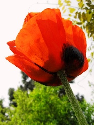Red Poppy красные маки