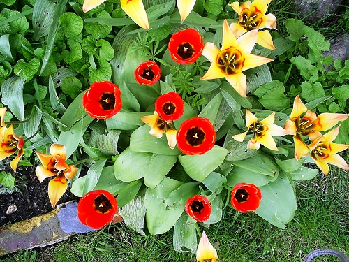 Red Tulips красные тюльпаны