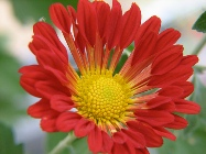 Red chrysanthemum красные хризантемы