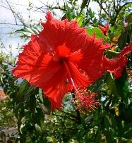 Red hibiscus красный гибискус