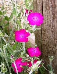 Rose Campion розовая смолевка