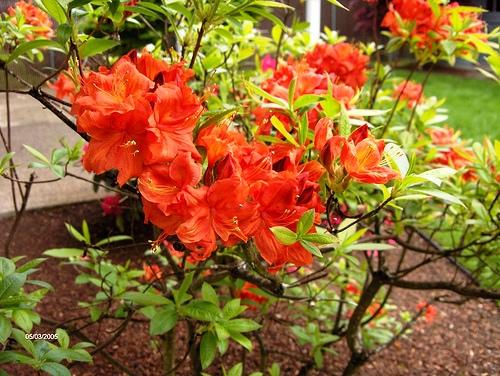 Stewartstonian Azalea красные азалии