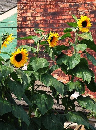 Sunflower подсолнухи