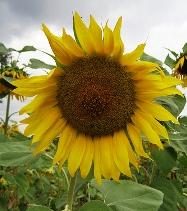 Sunflower подсолнечник
