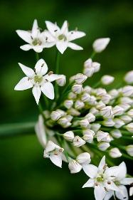 White Allium белый аллиум