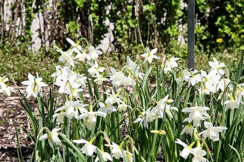 White Daffodil белые нарциссы