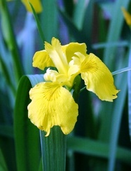 Yellow Iris желтые ирисы