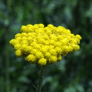 Yellow Yarrow тысячелистник