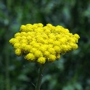 Yellow Yarrow тысячелистник