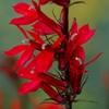 Красная лобелия