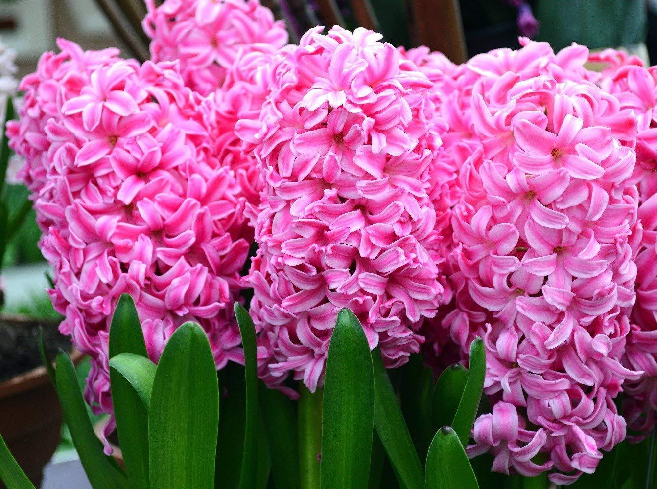 Розовый гиацинт Pink Hyacinth