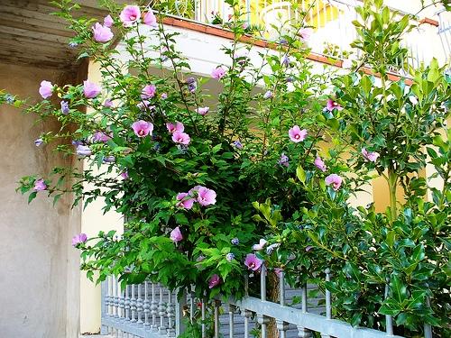 Гибискус сирийский - Lavender Rose of Sharon (Hibiscus syriacus)